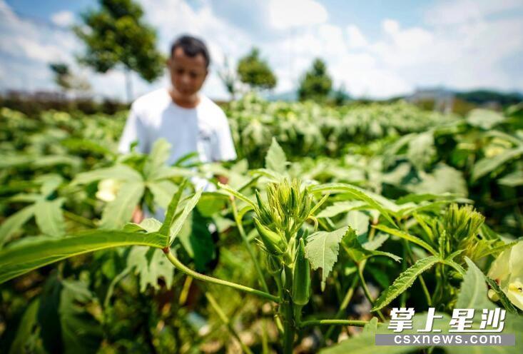 肖座在联彩进口水果型秋葵种植示范基地检查秋葵长势。盛磊 摄