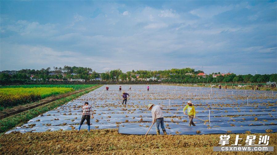 当前是早春蔬菜育苗和定植的关键时期,长沙县各地蔬菜生产者在做好疫情防护的同时,正有序进行返岗复工。