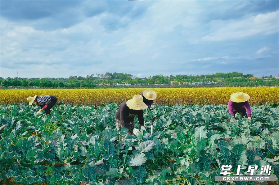 整个蔬菜基地都十分注重防控防疫,大家工作时都戴了口罩并间隔一定距离,每次工作前后均消毒杀菌。