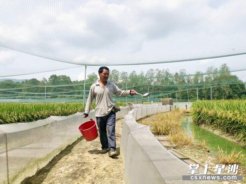 杨春奇在稻蛙养殖基地喂养稻蛙。宋彬彬 摄