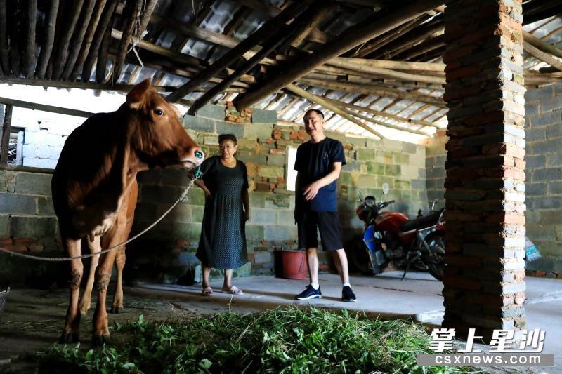 青山铺镇天华村驻村扶贫工作队从工作经费中拿出7500元给贫困户郑志华买了头牛养殖,拓宽其增收门路。 盛磊 摄