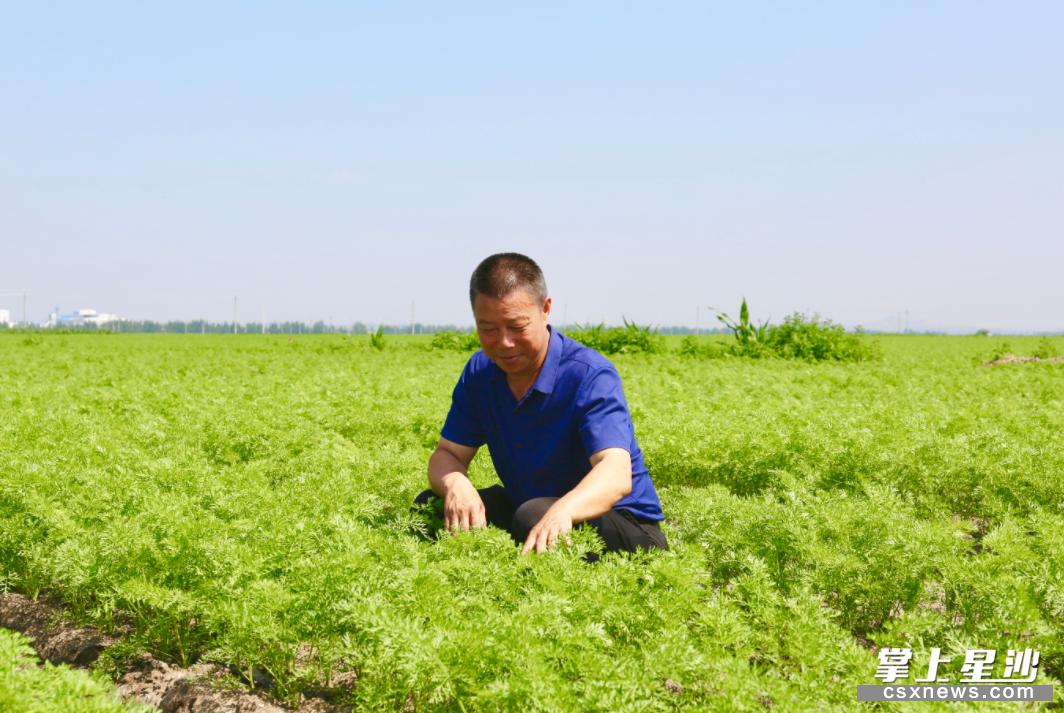 长沙县农企与内蒙古共同探索东西部扶贫协作,4000亩蔬菜第一年试种喜获丰收。